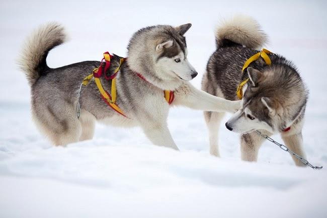 Zimowe sporty dla psów