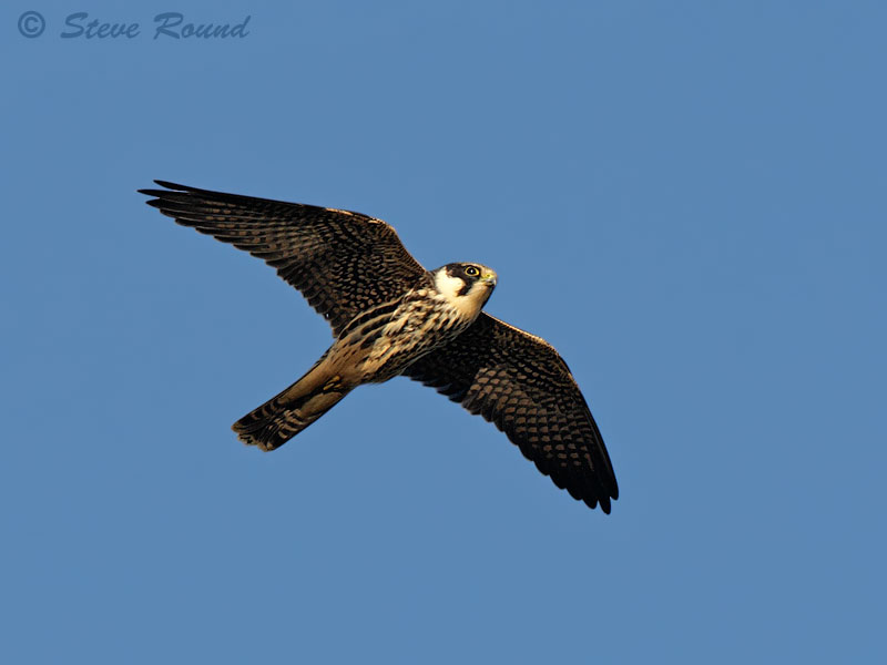 Falcon, bird, nature, wildlife