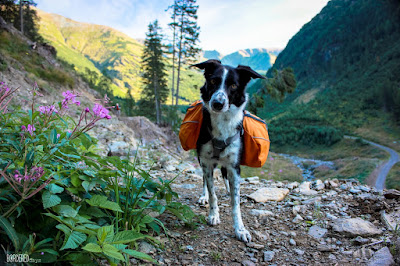 Border collie with Ruffwear dog pack in High Tatras
