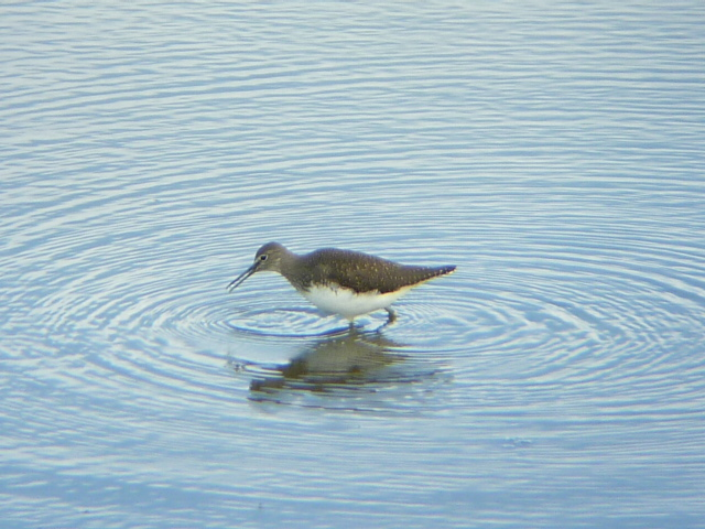 Green Sandpiper