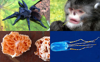 The top 10 new species for 2012 include sneezing monkey and blue tarantula