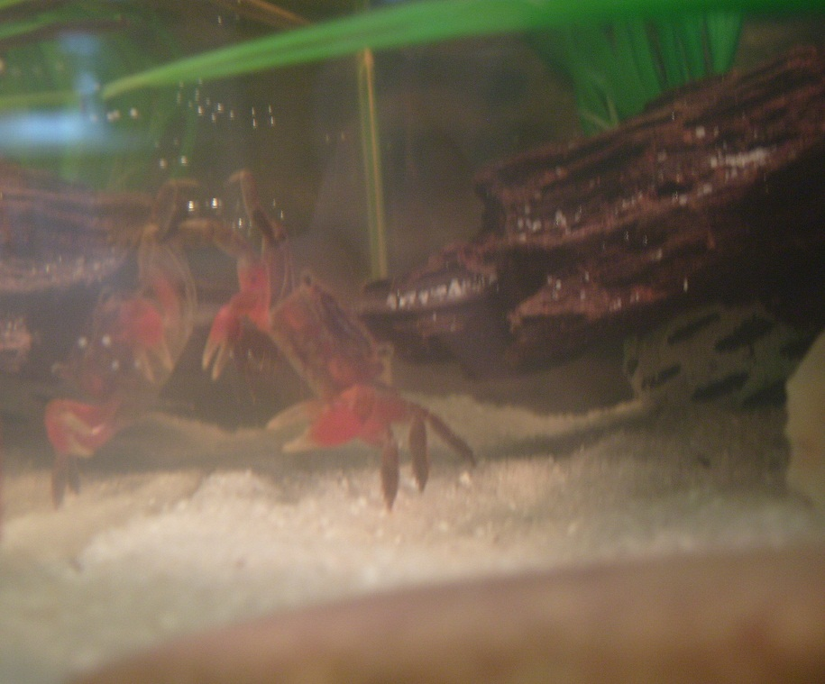 The Shrimp Diaries: Rescued Red Claw Crabs!