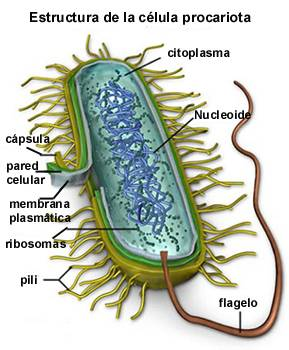 celula procarionte y eucarionte: