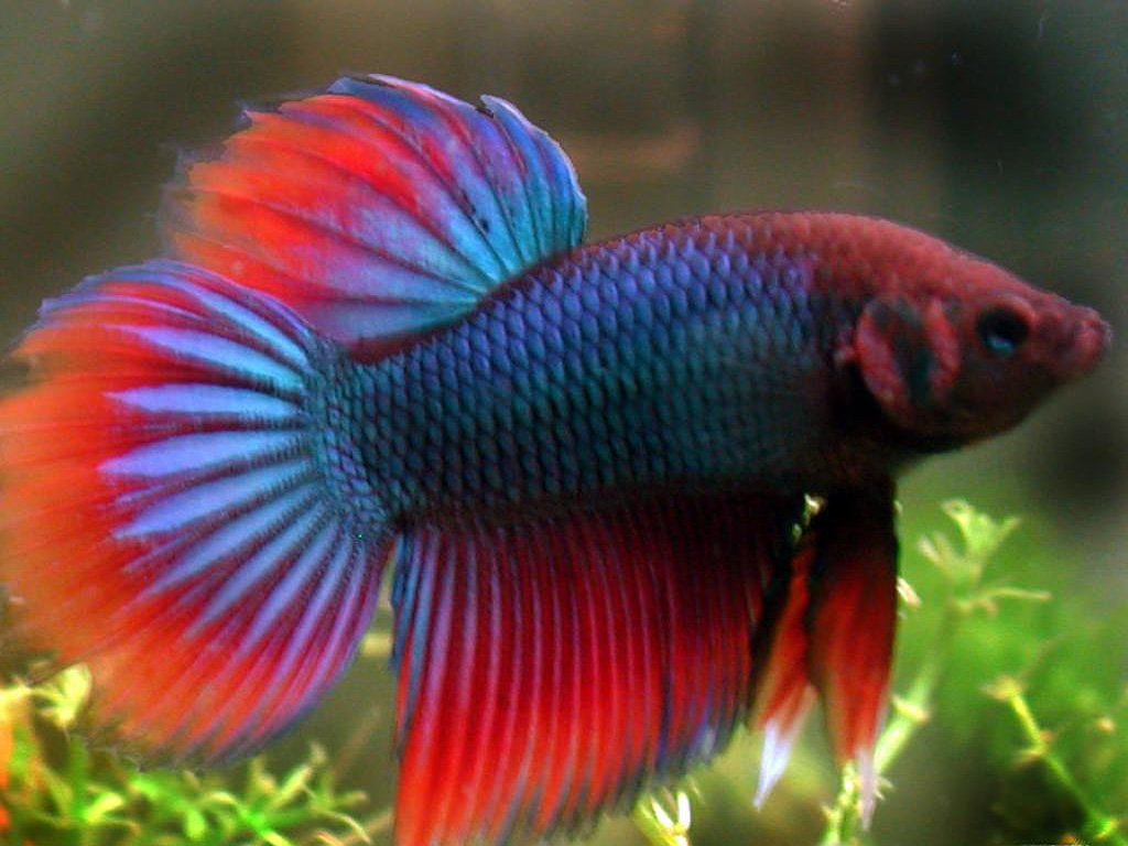 Fighting fish pictures pets cute and docile for Tipos de peces ornamentales