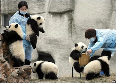 Beautiful Amazing Giant Panda pictures