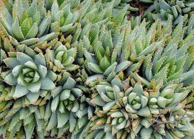 Aloe Brevifolia Care Aloe Brevifolia