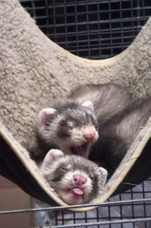 Funny animals of the week - 21 February 2014 (40 pics), two ferrets sleeping on hammock