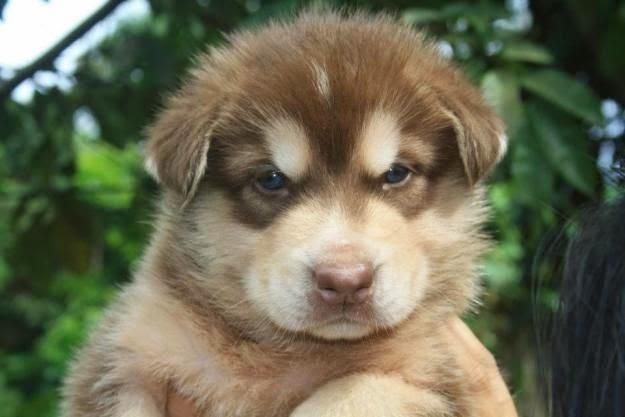 Good Alaskan Malamute Chubby Adorable Dog - 12e1bbd55cdc314e9adcf43d71a8a08c  Trends_145117  .jpg