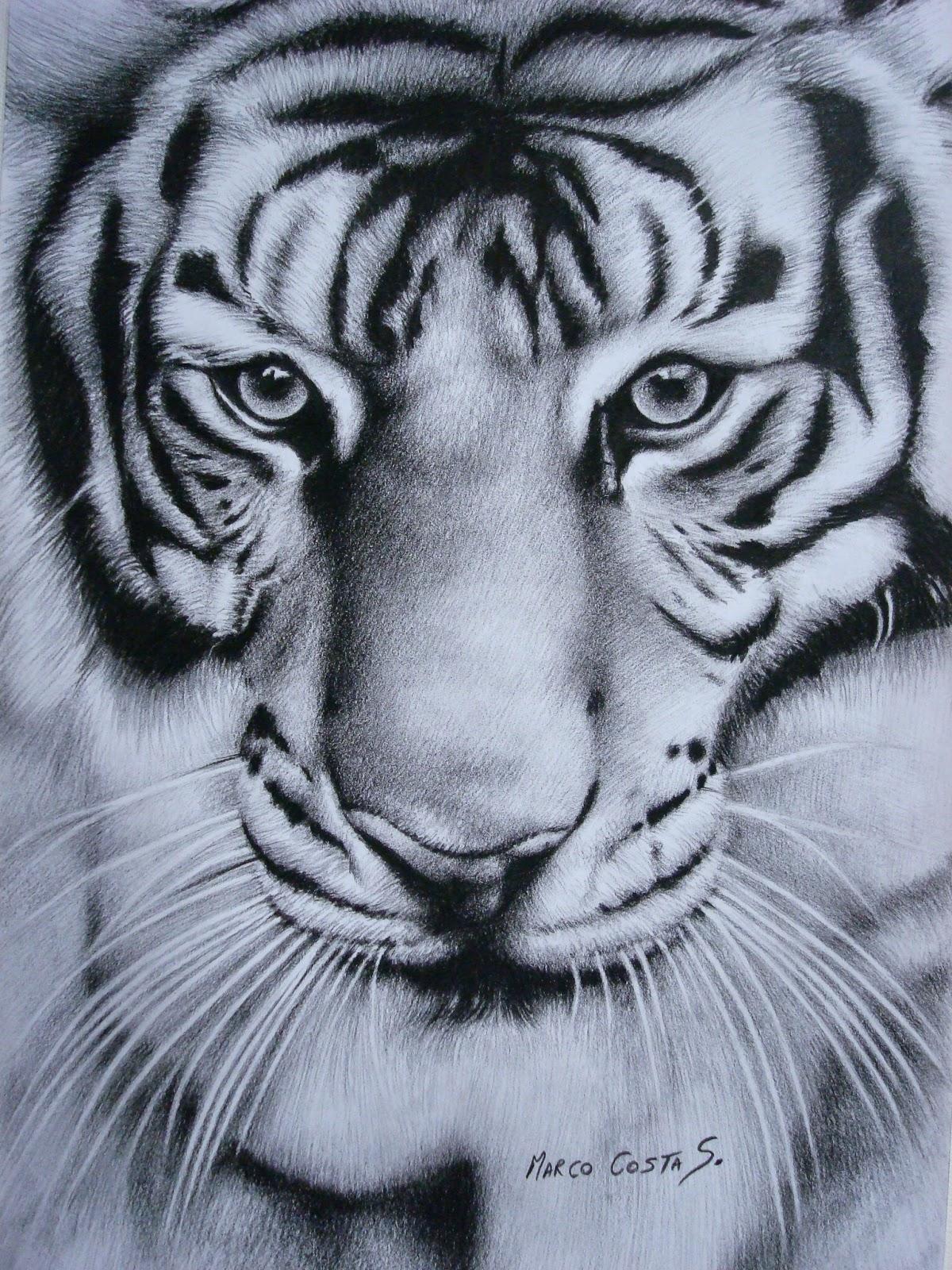 Marco Costa Artista Visual: Dibujo de Tigre de Bengala