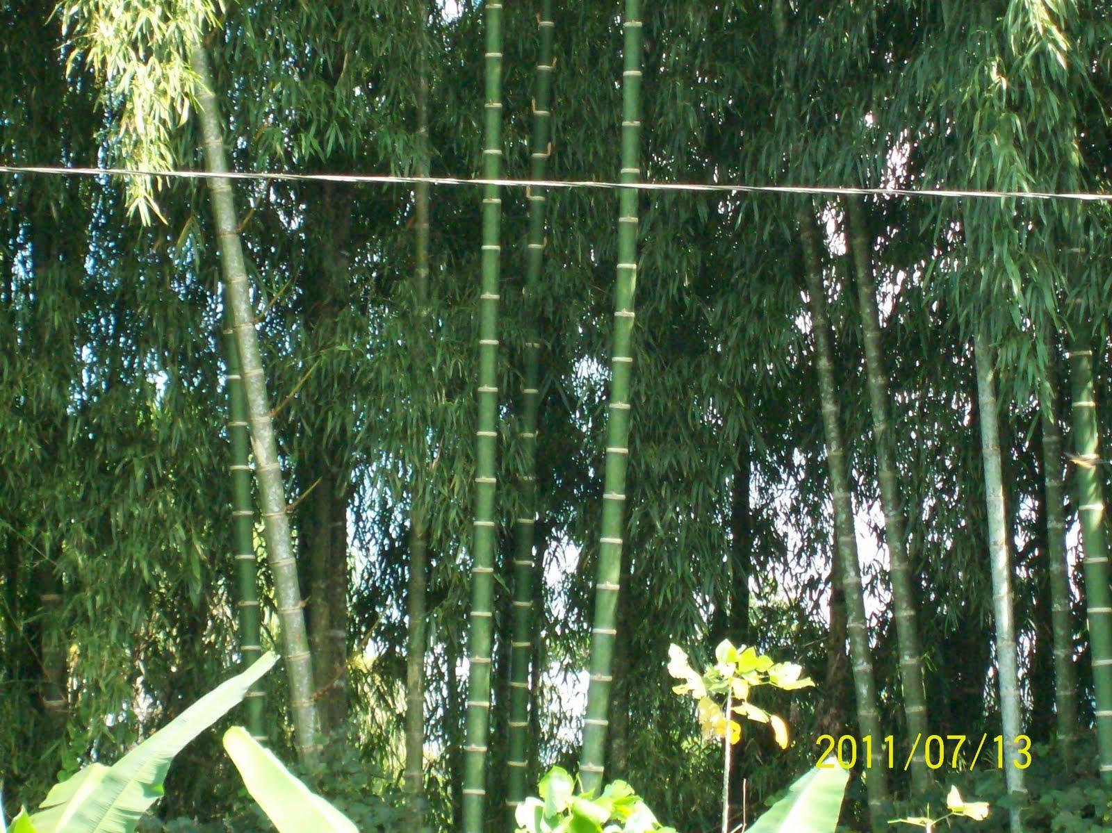 Capacitan a pobladores sobre cultivo y comercializaci n de bamb en aucayacu - Cultivo del bambu ...