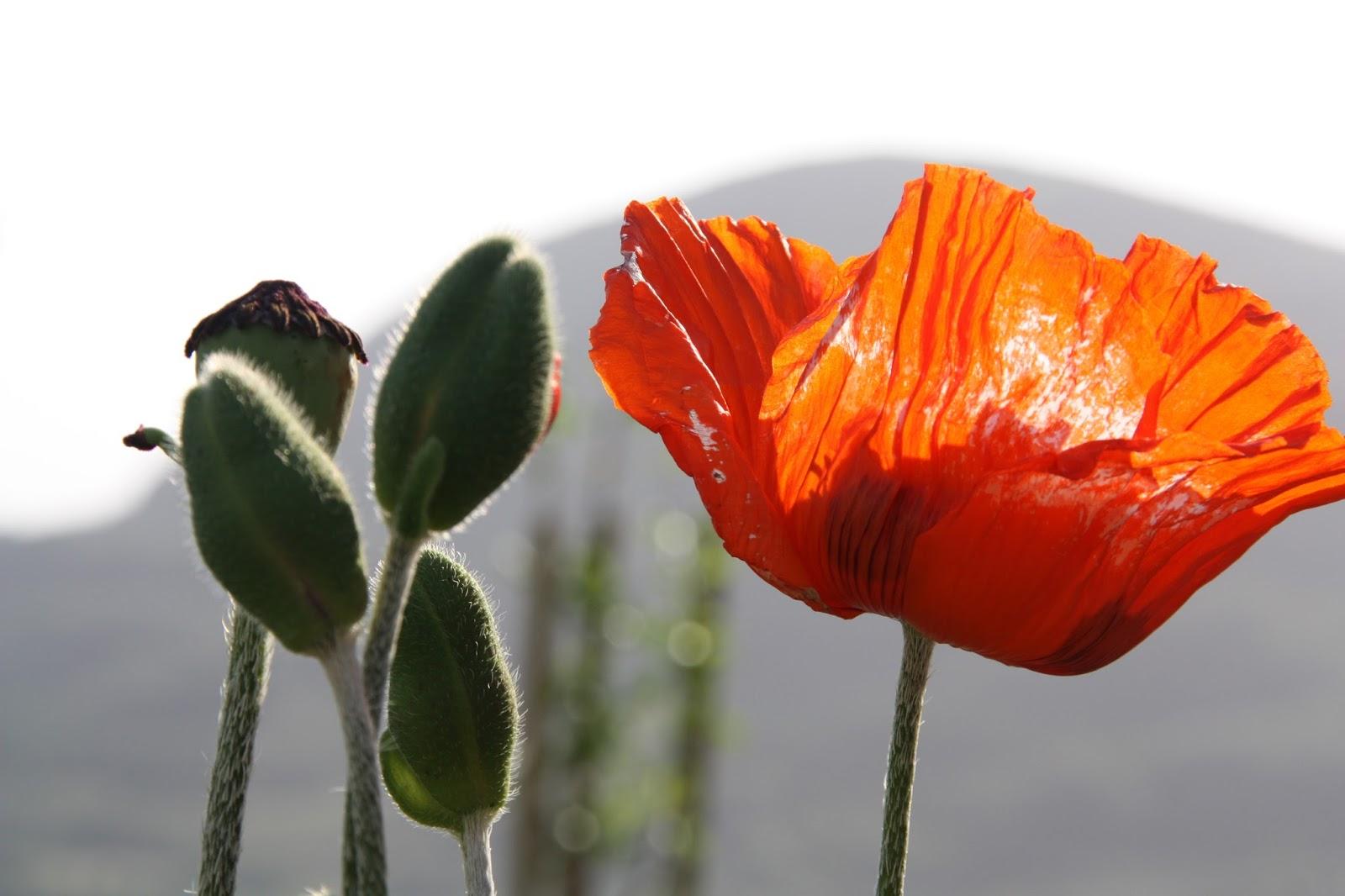valmue hel blomst
