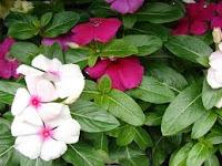 Tapak dara (Catharanthus roseus)