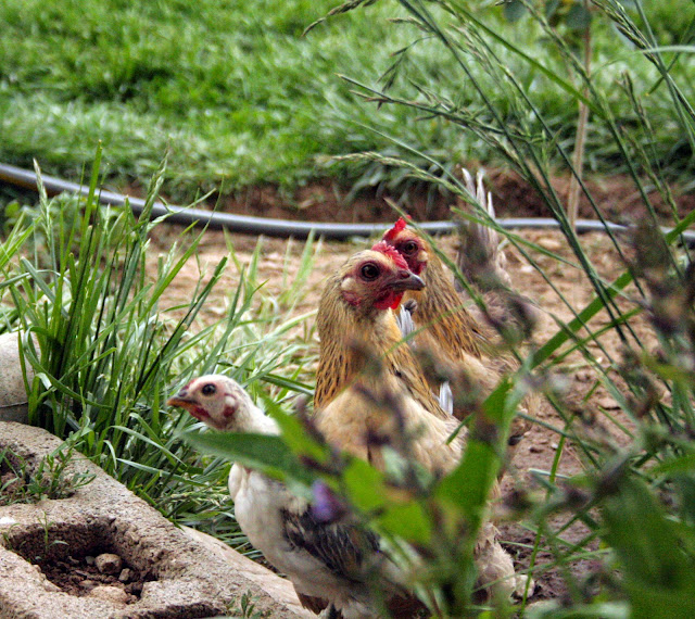 Bantam chicken rooster hen chicks
