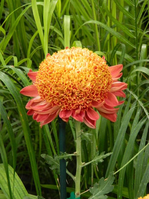 orange anemone mum at the allan gardens conservatory 2015 chrysanthemum show
