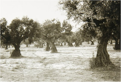 leganes_Abuelohara olivar junto al cementerio
