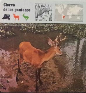 Blog Safari Club, el Ciervo de los pantanos, sobrevive en lugares inaccesibles