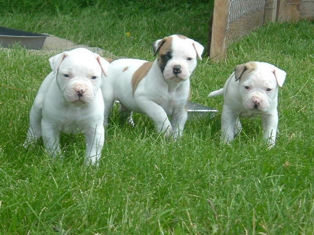 American Bulldog Pictures