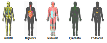 innerbody easily explore and learn about the human body, Cephalic Vein