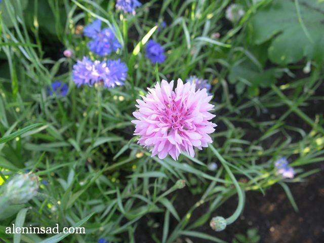 василек, Centaurea, аленин сад, цветы, июль