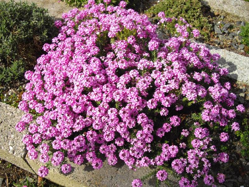 Arte y jardiner a plantas de rocalla diversas especies 2 - Plantas para rocallas ...