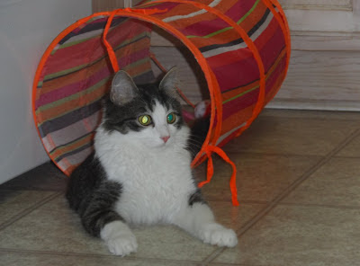 Anakin The Two Legged Cat playing in his tunnel