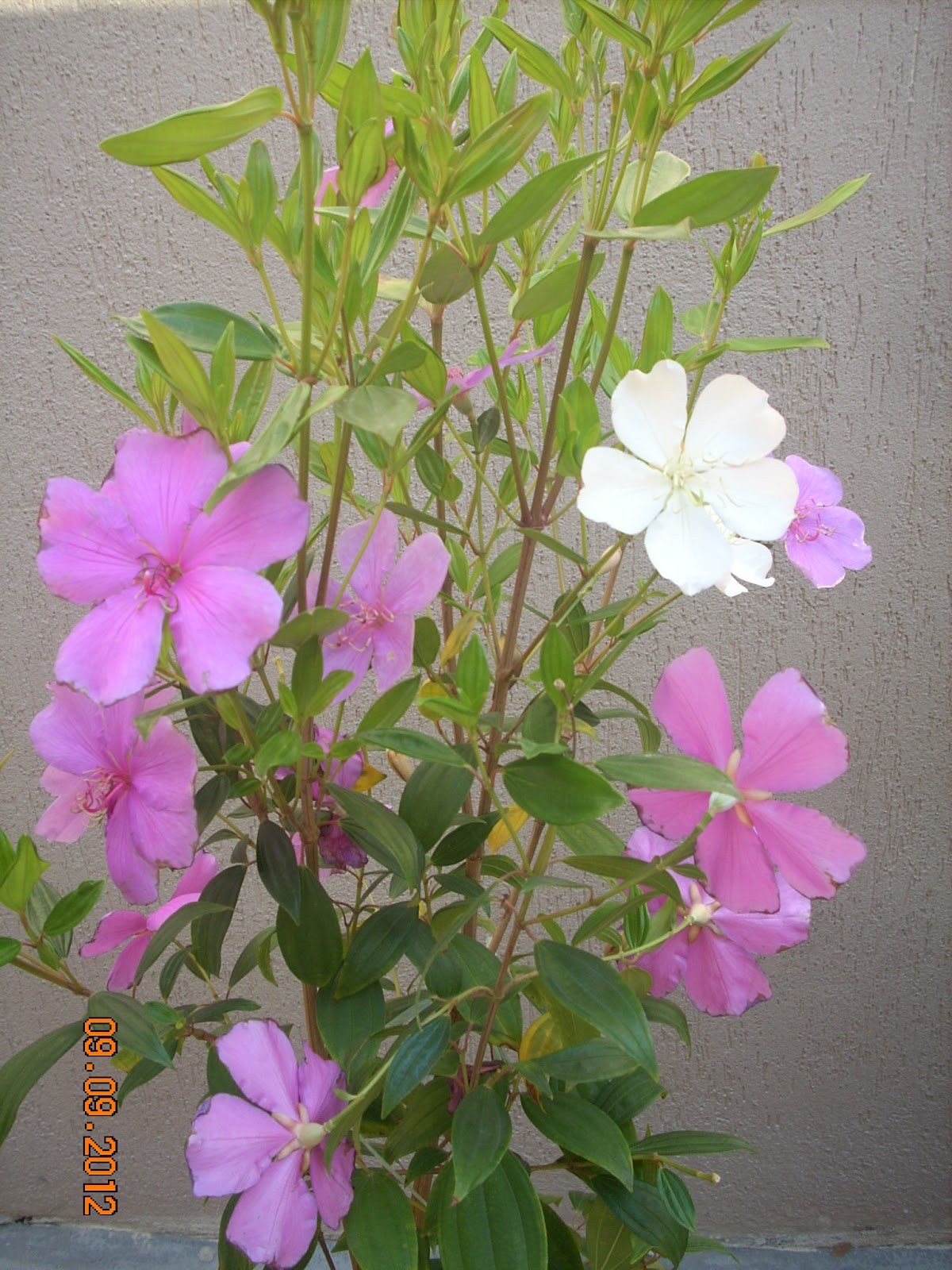 meu quintal meu jardim : meu quintal meu jardim: meu jardim # coisasdeada manacá da serra do meu jardim # coisasdeada