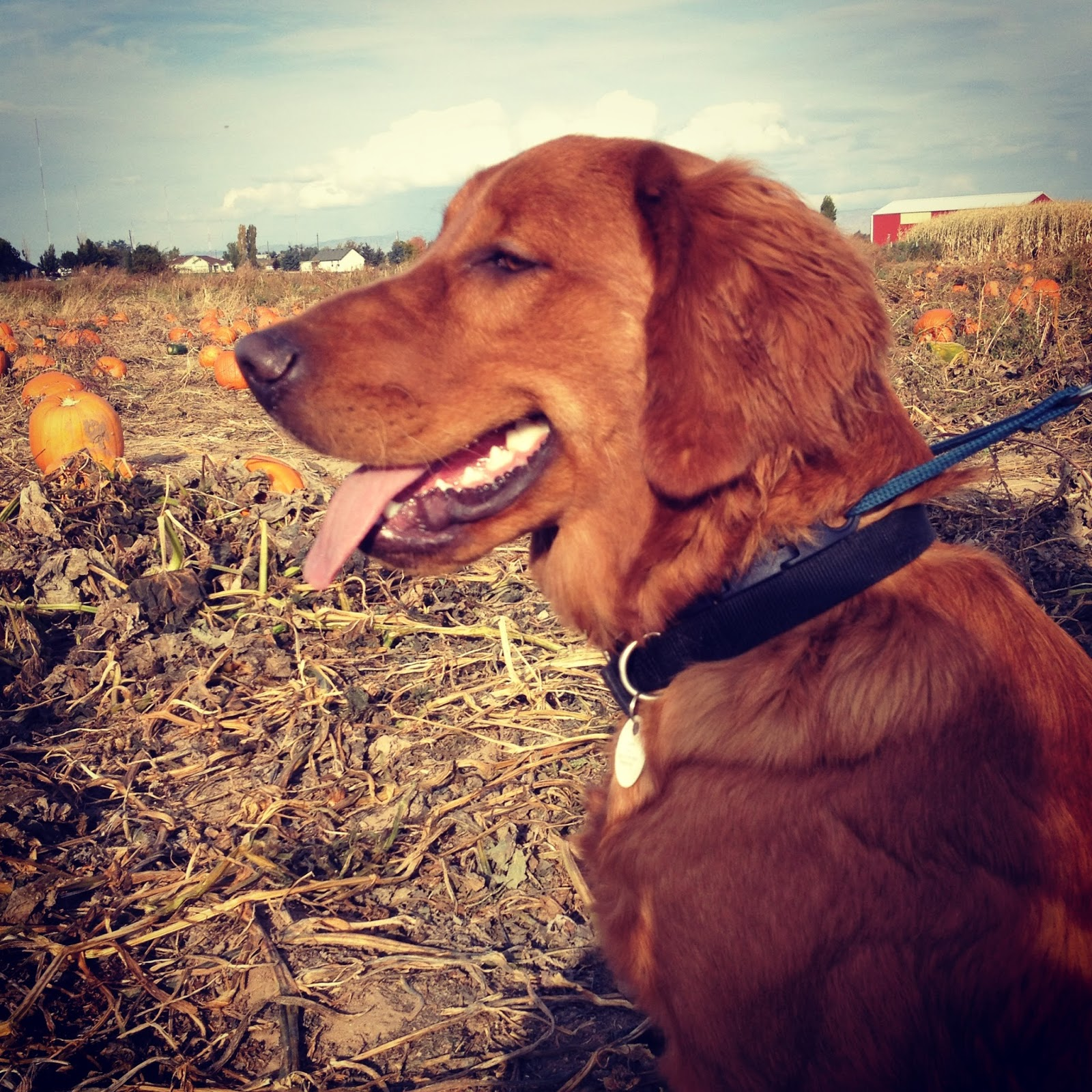 Dog at the pumpkin patch