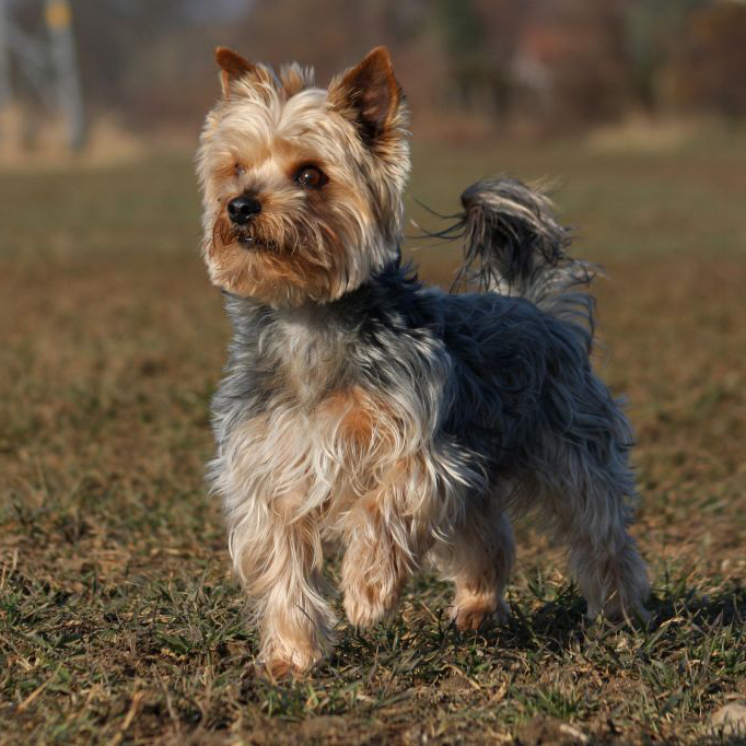 Yorkshire Terrier or Y...