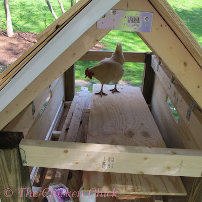 4/29/12 Roof finished with cedar shingles and Penelope inspects at the end of day 2.