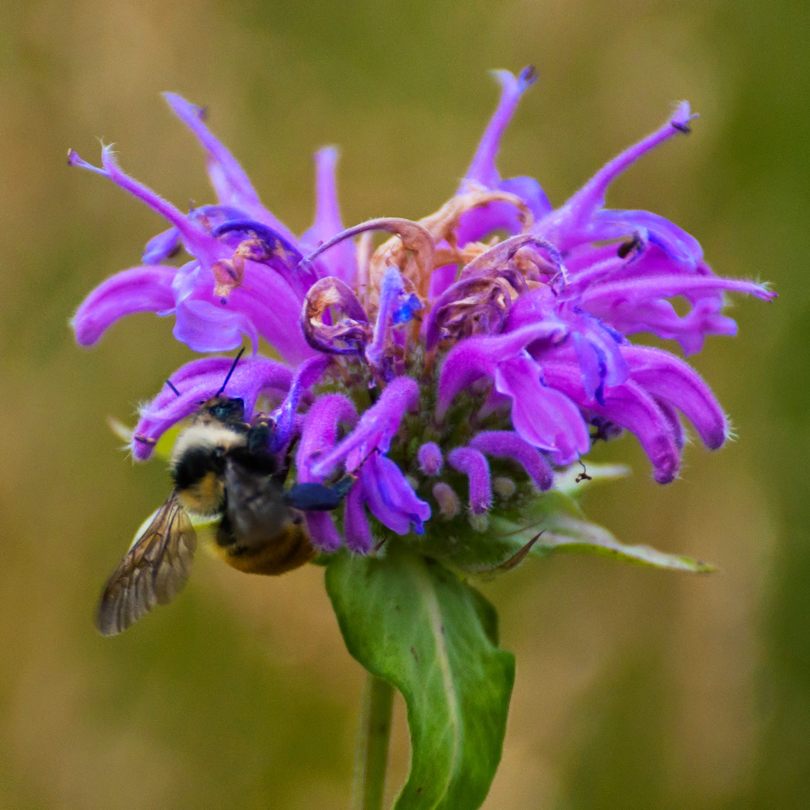 Bee Balm with Bumblebee