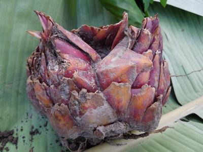 Mother Lilium Bulb