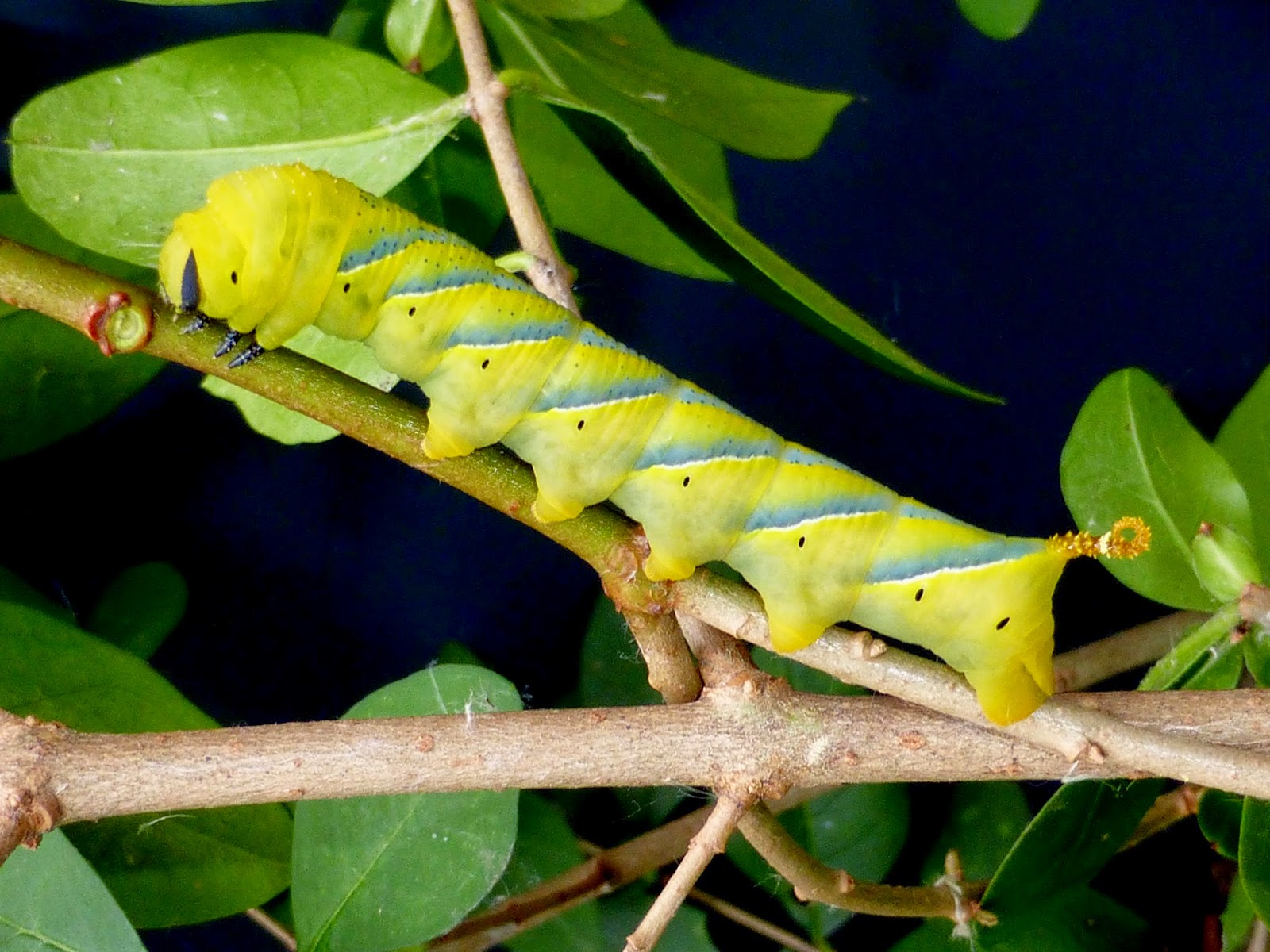 Acherontia atropos caterpillar L4