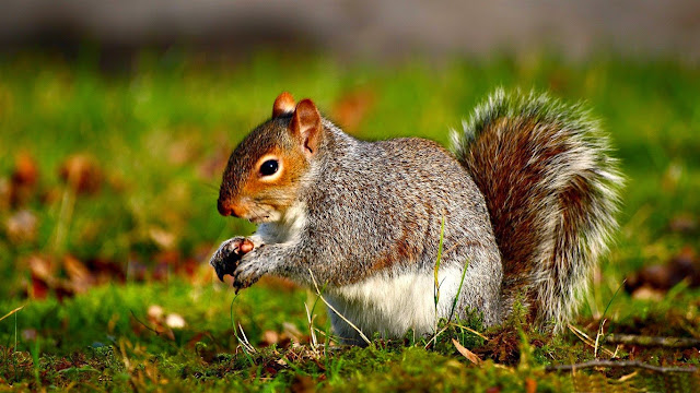 187987-Squirrel Animal HD Wallpaperz