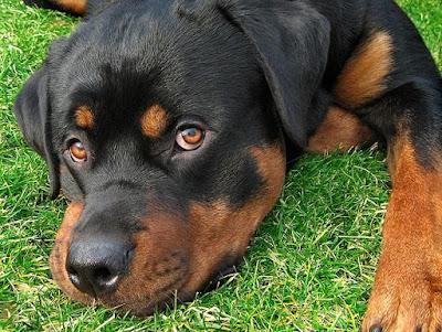 Cuidados Perro Rottweiler