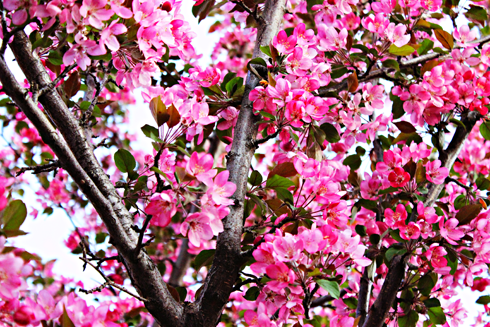 spring blossoms medicine hat alberta photography