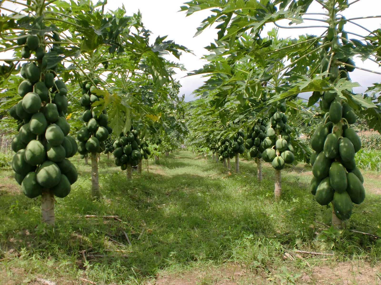 papaya trees