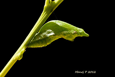 Pupa of Common Mormon Butterfly