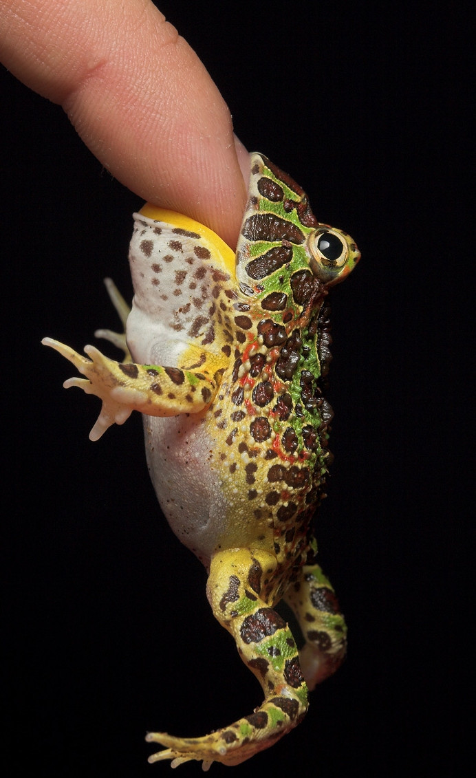 funny animals, animal pictures, finger sized frog