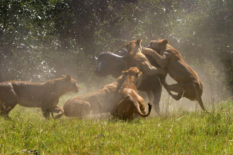 Hayvanlar alemi vahşi hayvanlar aslanlar kurtlar bufalo kartal kurt