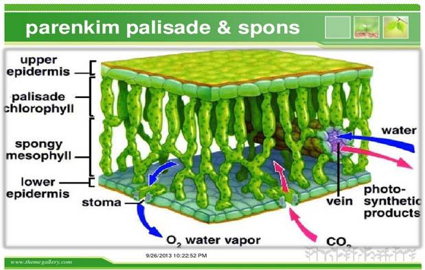 sel hidup dengan struktur fisiologi serta morfologi yang variatif dan masih melakukan sega 5 Fungsi Jaringan Parenkim pada Tumbuhan