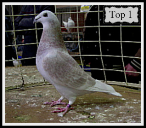 British Show Racer Pigeon
