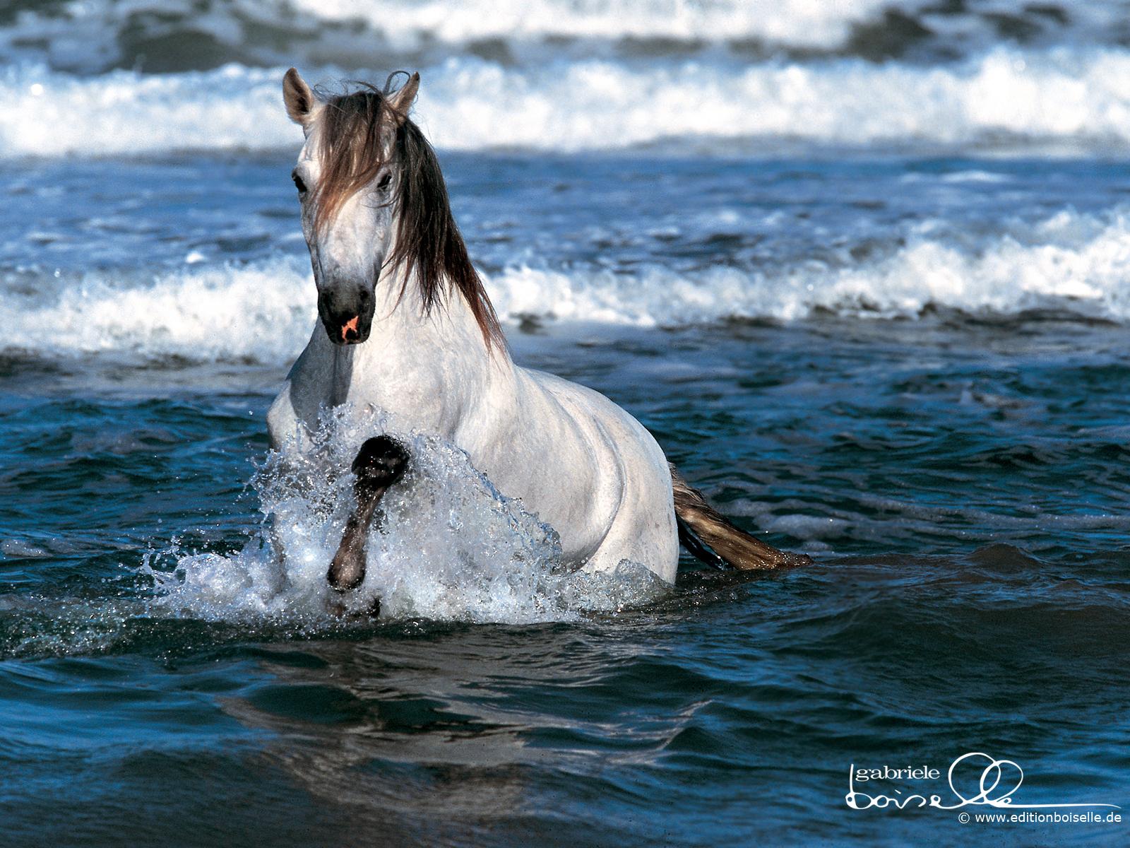 Good   Wallpaper Horse Spirit - Horse+in+ocean  2018_164299.jpg