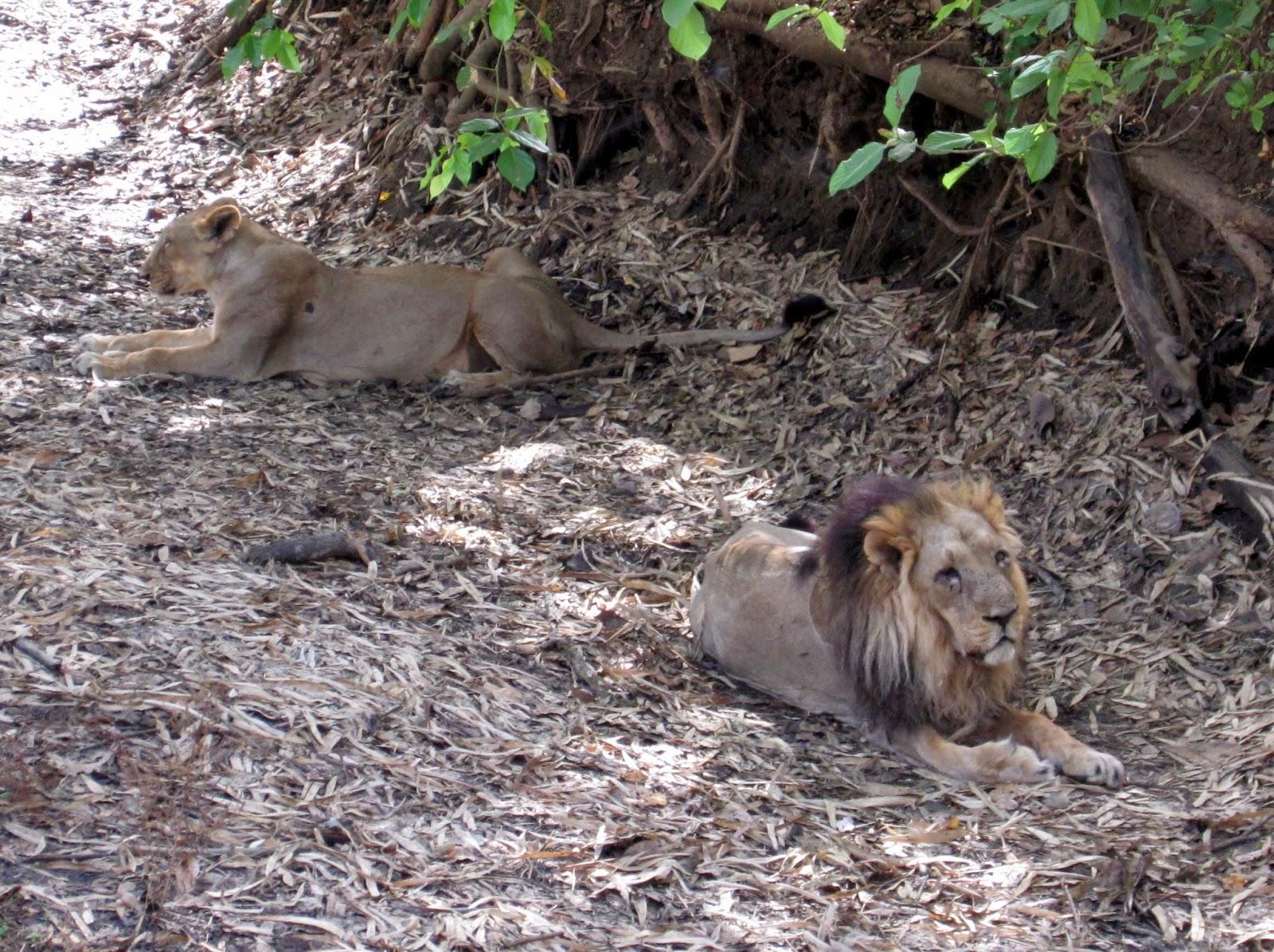 Silvassa, Dadra and Nagar Haveli, Weekend getaway Mumbai, Travel, Versona Lion Safari