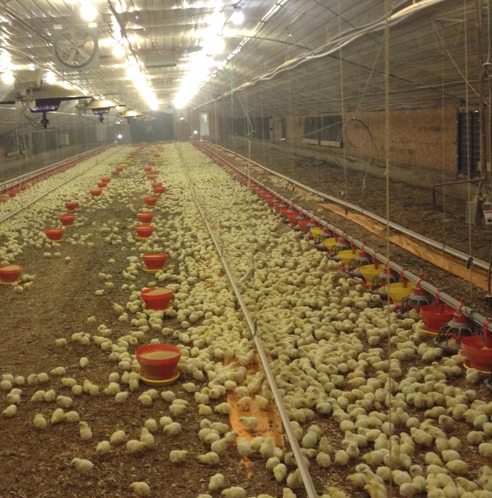 Broiler Poultry Housing Modern Farming Methods