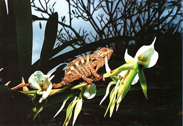 Хамелеон на орхидее