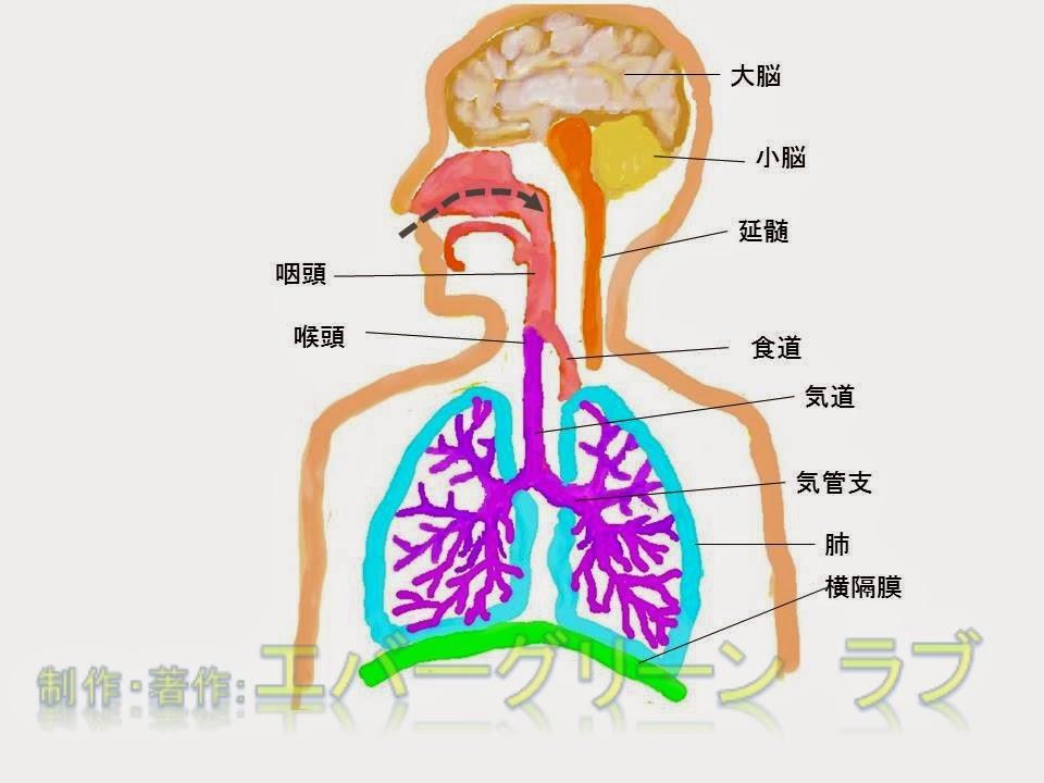 ハッカ油 メントール 薬局 イソジン ポビドンヨード セチルピリジニウム OTC 市販 風邪薬 どうやって選ぶ かぜ 咳が止まらない 咳を止めたい せきどめ 注意 効き目 よく効く 成分 医者 処方薬 喘息、扁桃炎、結核、咳喘息、花粉症,炎症,咽頭,肺,横隔膜,喉頭,ウイルス,ジヒドロコデインリン酸塩,ジメモルファン,咳止め,せき止め,ムコダイン,ビソルボン,コンタック,アネトン,ブロン液,ブロンエース,パブロン咳止め,プレコール,カイゲン,去痰,気管支拡張,中枢神経,抗ヒスタミン,デキストロメトルファン臭化水素,半夏厚朴湯,ばくもんどうとう,麦門冬湯,はんげこうぼくとう,酸塩水和物,ノスカピン,ジプロフィリン,メチルエフェドリン,カルボシステイン,ブロムヘキシン,グアイフェネシン,グアヤコールスルホン酸,カルビノキサミン,クロルフェニラミン,桔梗,甘草,キキョウ,カンゾウ、気管支、気管、ねばねば、水っぽい、使用可能年齢,小児,カフェイン,酵素,麻薬性,非麻薬性,習慣性