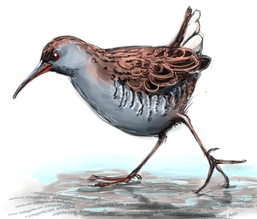 Water Rail sketch painting. Bird art drawing by illustrator Artmagenta