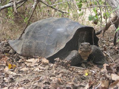 Tartarugas de galápagos quase extinta-Tudo sobre ela e Fotos