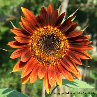Pretty Warm Color Autumn Beauty Sunflower Blossom