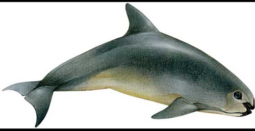 Most Amazing Almost Extinct Animals Vaquita